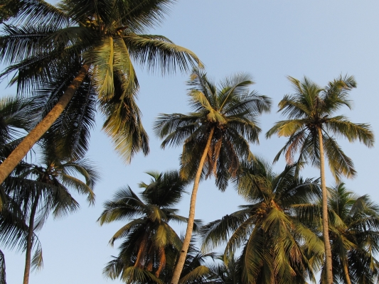 Palm trees in Goa